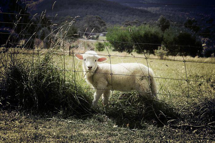 Photo of 2019 Hayvancılık İçin Hibe Desteği Başvurusu ve Şartları