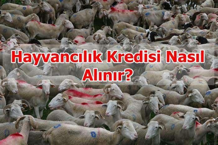 Photo of Hayvancılık Kredisi Nasıl Alınır?