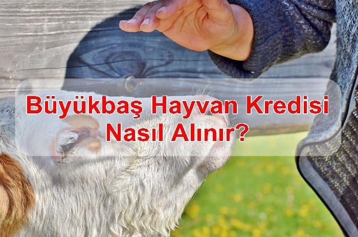 Photo of Büyükbaş Hayvan Kredisi Nasıl Alınır?